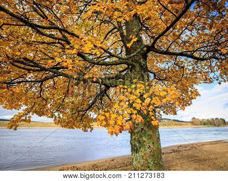 Acer tree - Acer pseudoplatanus. Sycamore maple in golden colors in autumn season at Hamresanden, Norway