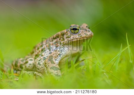 Firm Green Toad In Bright Green Grass