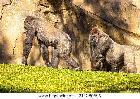 two big gorillas walking on the grass