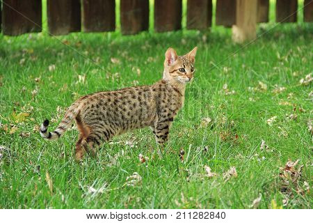 Savannah cat. Beautiful spotted and striped gold colored Serval Savannah kitten on a green grass lawn.