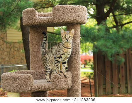 Savannah cat. Beautiful spotted and striped gold colored Serval Savannah kitten with yellow eyes and a black nose on a cat tree outside.