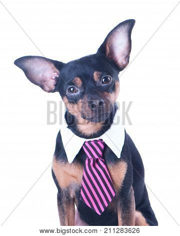 A dog toyterrier a tie and a white collar. Education training of dogs. Boss manager.