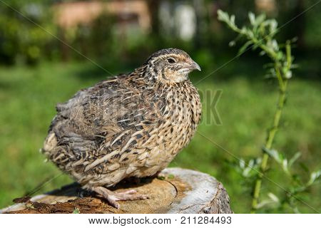 Quail living in free-range summertime close up capture. Bird in grass close up image.