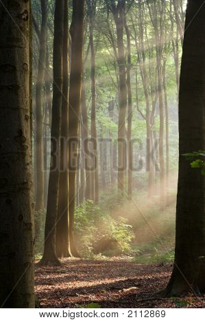 Through The Trees - Hazy Forest Morning