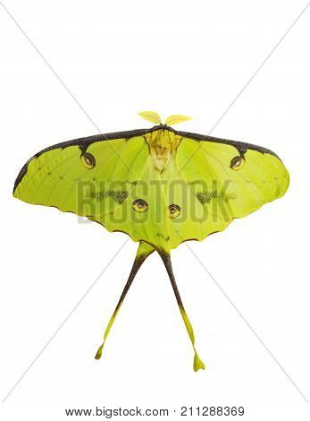 African moon moth Argema mimosae isolated on white background. The moth is yellow-green big has long tails on its wings and feather-like antennae. Moths look like butterflies but fly at night.