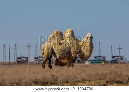 Domestic white bactrian two-humped camel in desert of Kazakhstan.