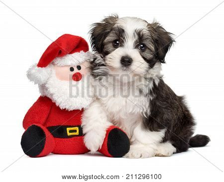 Cute Bichon Havanese puppy dog sitting with a little Santa Claus plush toy - Isolated on white background