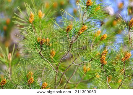 Bright Young Pine Branches With Future Cones