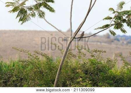 One Turtledove Sitting On A Tree