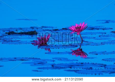Beautiful pink lotus flowers blooming on the lake known as Red Lotus Sea in Udon Thani Province, Thailand