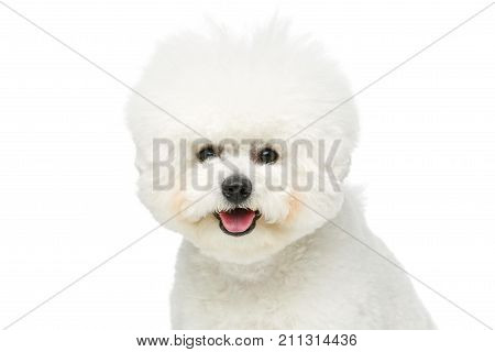 beautiful bichon frisee dog isolated on white background. copy space.