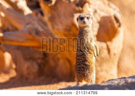 isolated standing meerkat at sunset portrait south africa