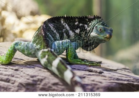 Fiji Island Crested Iguana - Critically endangered species