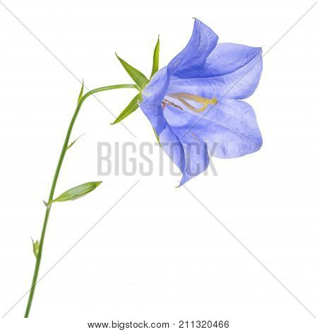Beautiful Blooming Single Blue Bell Flower Isolated On White Background, Close Up