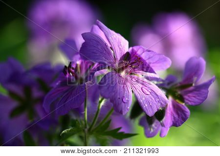 Large violet flowers of a geranium are shined non-uniformly. On petals there are water drops. Behind a black and green background.