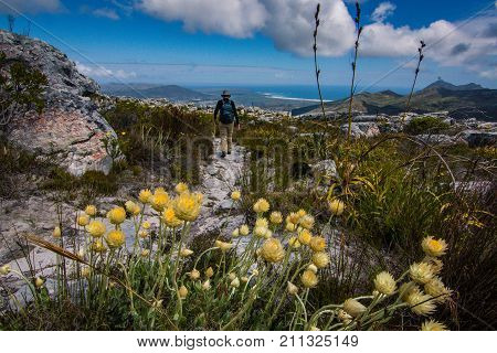 A hiker walks past a bunch of helichrysum flowers in the mountain near Cape Town, South Africa.
