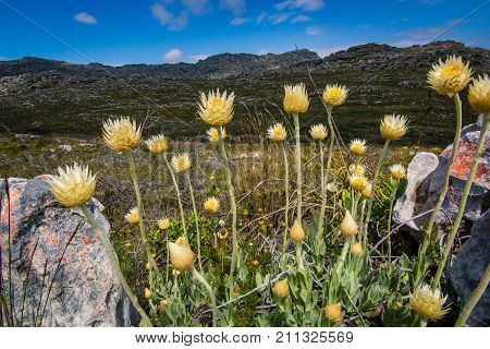 Helichrysum everlasting flowers in spring in the mountains near Cape Town, South Africa