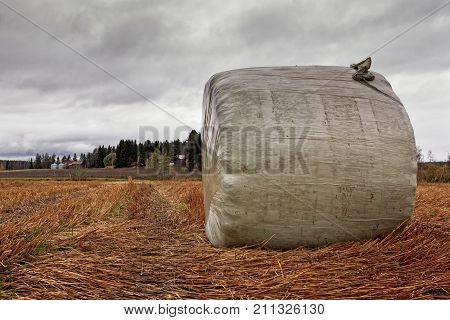 A hay roll wrapped in plastic is waiting for the farmer to collect it at the Northern Finland. The sky is getting darker the bad weather is coming.