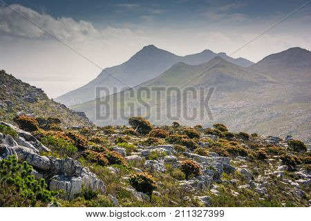 Hillside full of protea bushes in flower with Silvermine mountains in the background, South Africa
