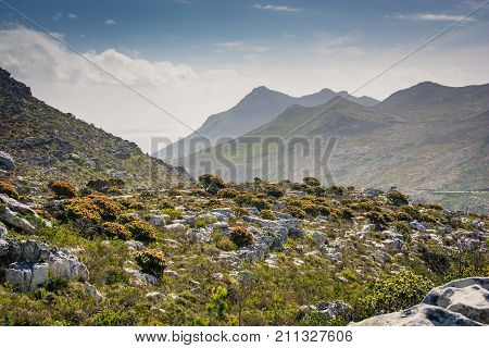 Protea bushes in flower fill a hillside, with Silvermine mountains in the background near Cape Town, South Africa.