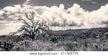 A blackened, scorched tree silhouetted against the clouds, rises above the recovering fynbos bushland after last year's fire.  Cape Point, South Africa