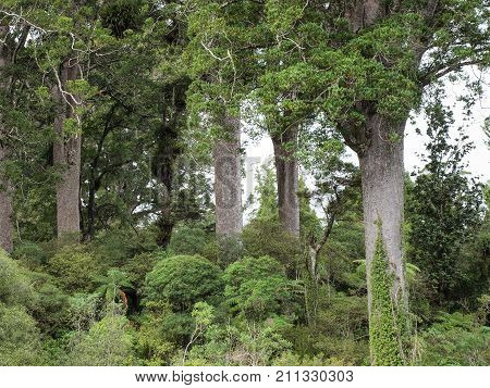 Kauri Trees On The Four Sisters Walking Track