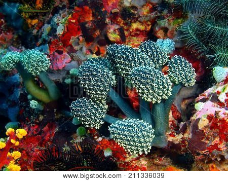 The amazing and mysterious underwater world of the Philippines, Luzon Island, Anilаo, sea squirts