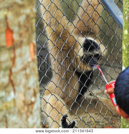 A monkey in captivity. A small monkey in a cage. Drinking soda through a straw. Do not feed animals in the zoo The maintenance of wild animals in captivity. Protection of the rights of animals.