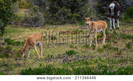 Two cute baby Bontebok antelope calves graze near adults in the Cape Point Nature Reserve, South Africa