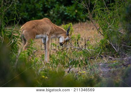 A cute baby Bontebok antelope scratches its head on a bush in the Cape Point Nature Reserve, South Africa