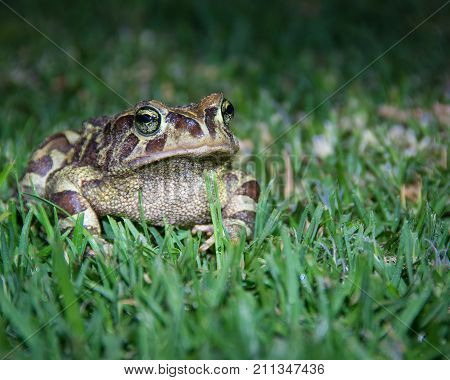 An endangered Western Leopard Toad waits on the grass for a female