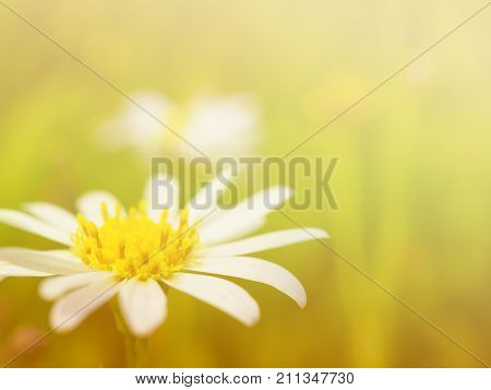 Close up image of white petal and yellow pollen daisy flower on yellow toned with copy space Focus with pollen Soft and selective focus