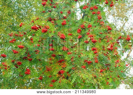 Rowanberry tree with red berries at early autumn.