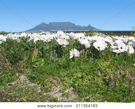 SPRING LANDSCAPE, WHITE AFRICAN DAISIES IN THE FORE GROUND AND TABLE MOUNTAIN IN THE BACK GROUND