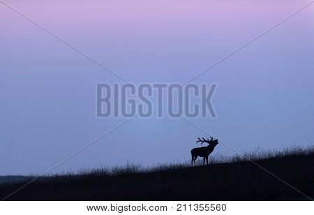 Bellowing Red Deer Stag On Grassy Slope At Sunset
