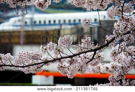 JAPAN KYOTO - APRIL 9 2017: Shinkansen or Bullet Train passing blooming cherry blossoms in Japan.