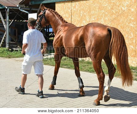 Young bay horse walking outdoor in summer
