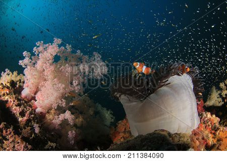 Clown Anemonefish in Sea Anemone on coral reef. Clownfish fish
