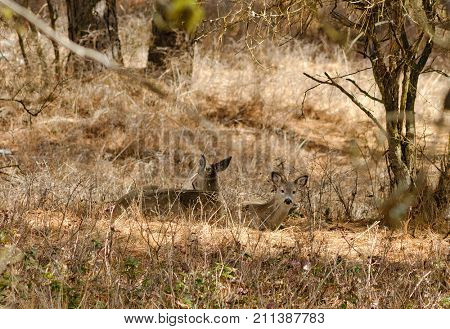 Whitetail deer resting in the forest