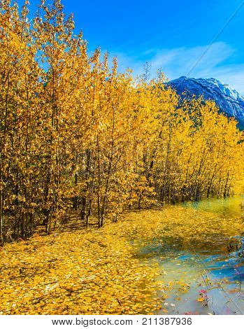Journey to the Golden Autumn in Rocky Mountains. The flooded coastal aspen grove. Picturesque turquoise Abraham Lake in a flood. The concept of active and ecological tourism
