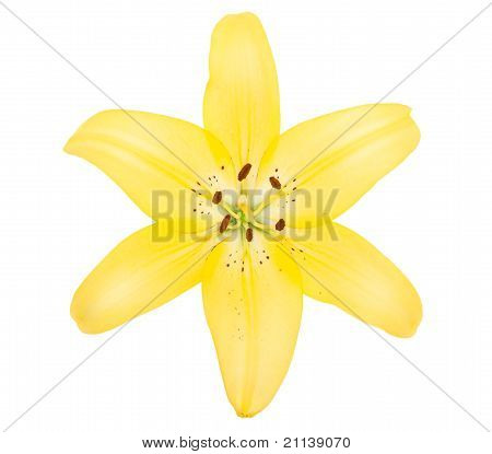 Yellow Lily Flower Isolated On White