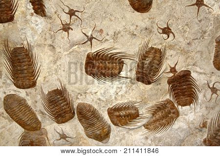 Petrified fossil starfishes and trilobites in stone