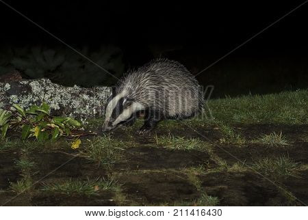 Badger On The Grass Looking For Food