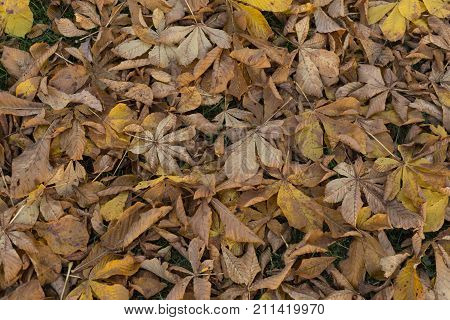 Late autumn brown faded fallen horse chestnut leaves in the park background