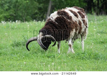A Jacob sheep with 4 horns. The Jacob sheep is a rare breed of small, piebald (black or brown and white spotted sheep. They may have as many as six horns. poster