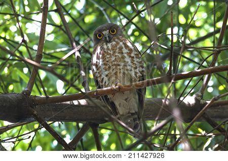 Brown Hawk-owl Brown Boobook Ninox Scutulata Beautiful Birds Of Thailand