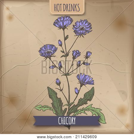 Cichorium intybus aka common chicory color sketch. Used as coffee substitute. Hot drinks collection. Great for cafe, bars, tea ads.