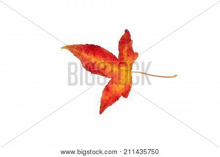 Beautifully colored single autumn leaf of a American Sweetgum Liquidambar styraciflua
