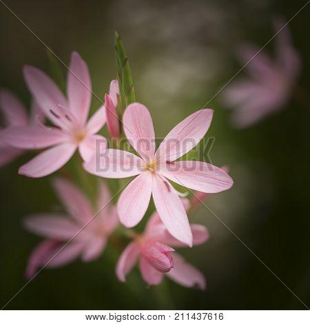 Beautiful Vibrant  Macro Image Of Tulipa Turkestanica Flower In Autumn Fall