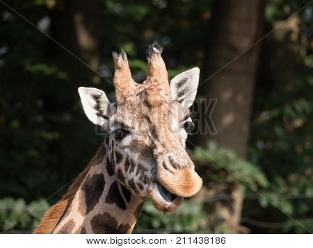 Close-up of a giraffe's head looking straight into the camera